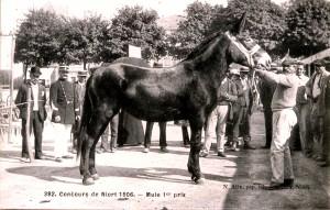 Mule poitevine au concours de Niort