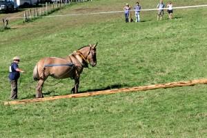 Mule poitevine en débardage