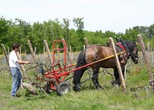 Trait Poitevin dans la vigne