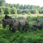 Les mules de Thomas Duguy lors d&#039;un essai de fauche sur une prairie humide (photo : Caroline Charpentier)