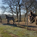 Les Races Mulassières du Poitou à Oléron...
